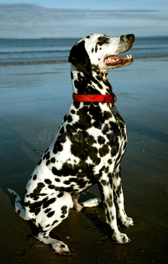 Dalmation 2. Dalmation with unusual colouring