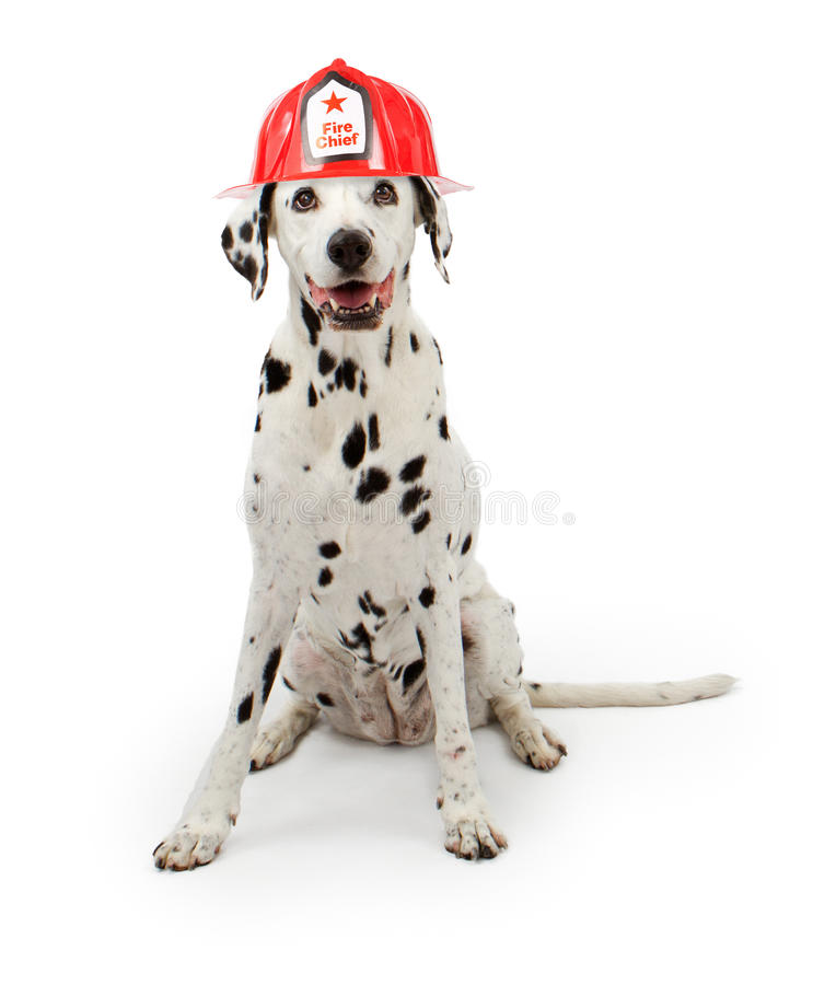 Dalmation dog wearing a red fireman hat. A cute spotte Dalmation dog wearing a red fireman hat sitting down on a white background stock images