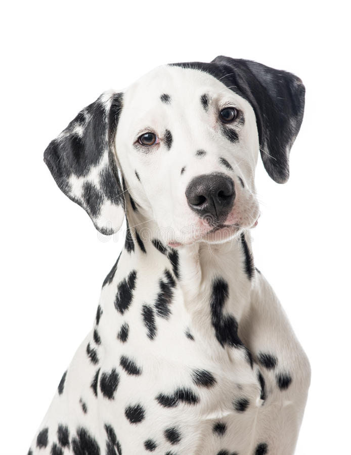 Dalmation hundstående royaltyfria bilder