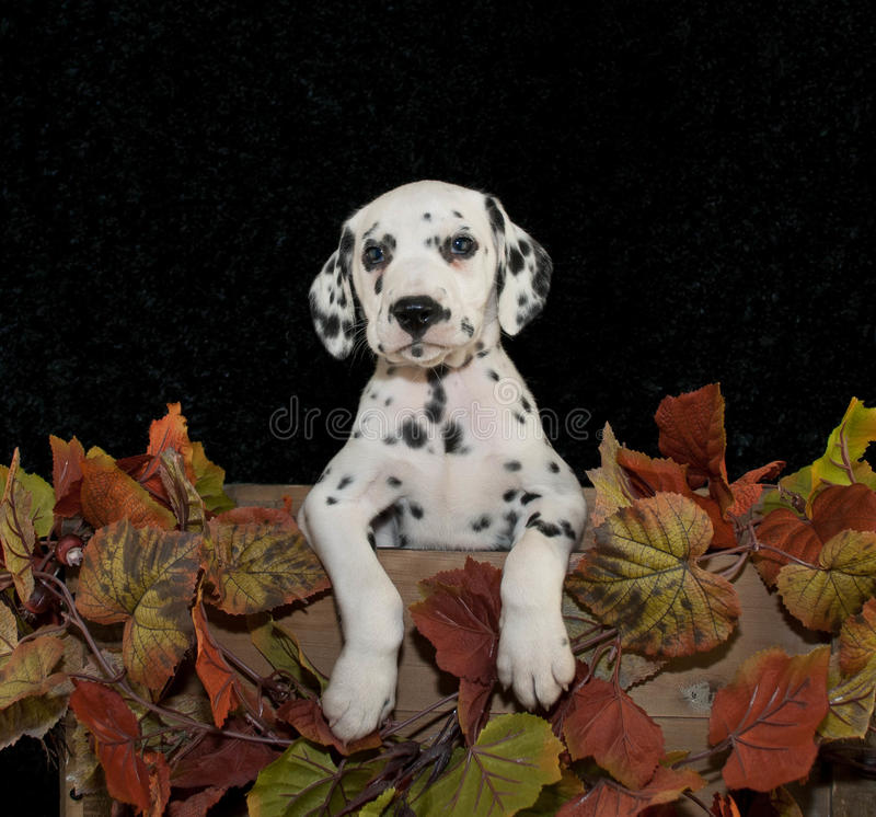 Dalmation Puppy. Cute Dalmation with fall decor and on a black background stock photos
