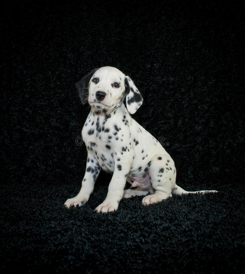 Dalmation Puppy. Cute Dalmation puppy sitting on a black background royalty free stock photo