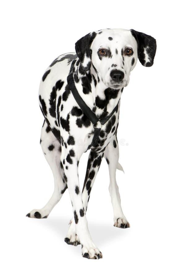 Dalmatisch (7 jaar) royalty-vrije stock fotografie
