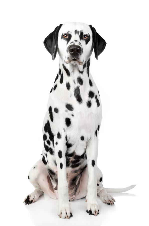 Dalmatisch hondportret stock afbeeldingen