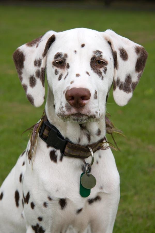 Dalmatisch puppy royalty-vrije stock foto's