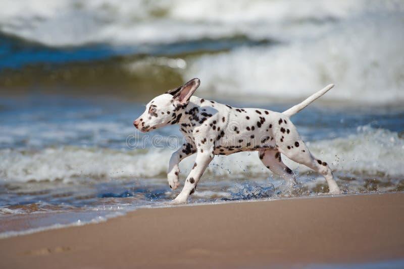 Dalmatisch puppy op het strand stock afbeelding
