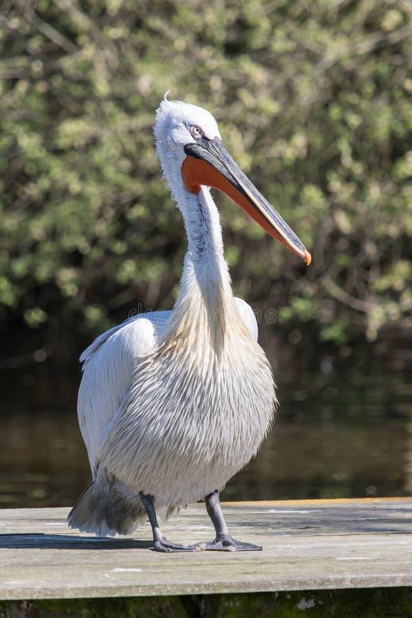 Dalmatische pelikaan - Pelecanus-crispus - op een houten pijler royalty-vrije stock afbeeldingen