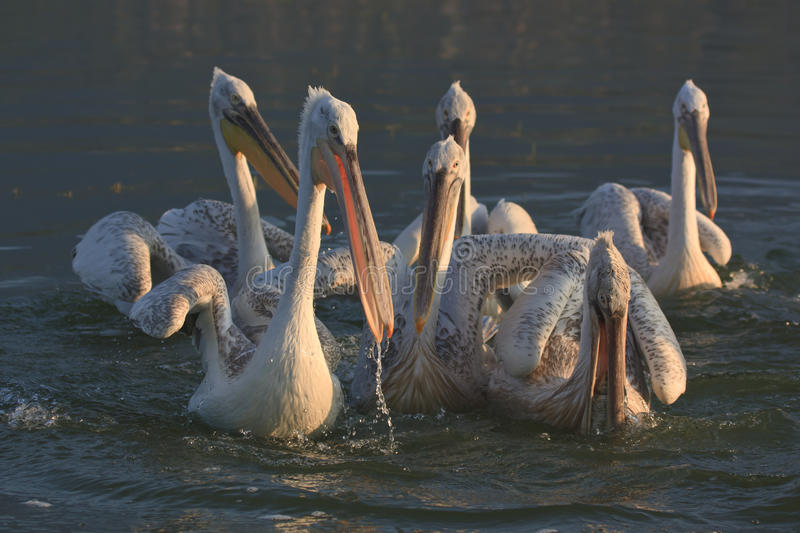 Dalmatische Pelikanen van Meer Kerkini Griekenland stock afbeelding
