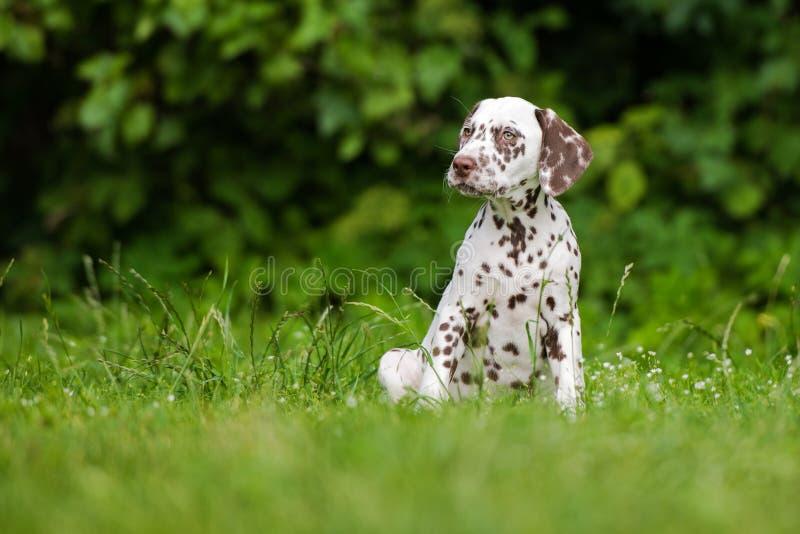 Dalmatische puppyzitting op gras royalty-vrije stock foto's