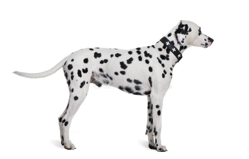 Dalmatische status voor witte achtergrond stock foto