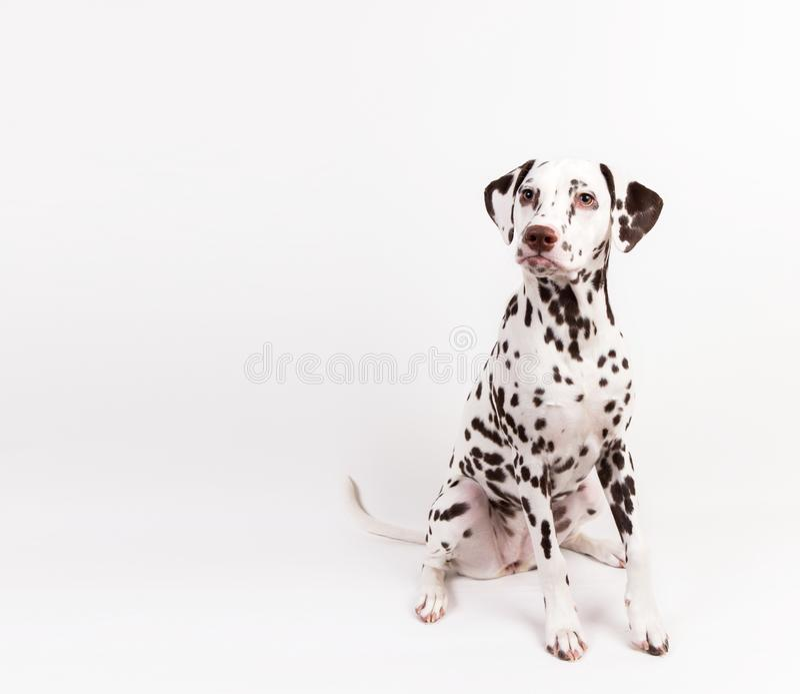 Dalmatische zitting, die geïsoleerd op wit opzij eruit zien stock afbeeldingen