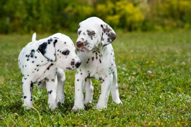 Dalmatyńscy szczeniaki obraz stock