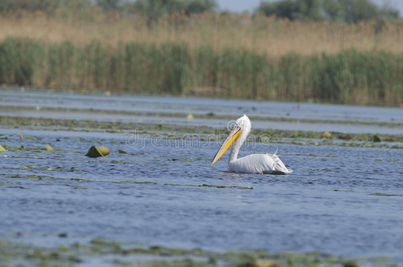 Dalmatyński pelikana Pelecanus crispus obrazy stock