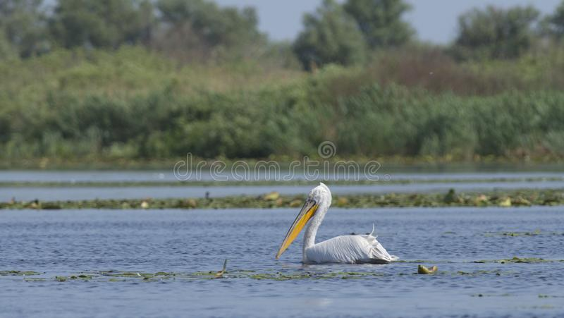 Dalmatyński pelikana pelecanus crispus fotografia stock