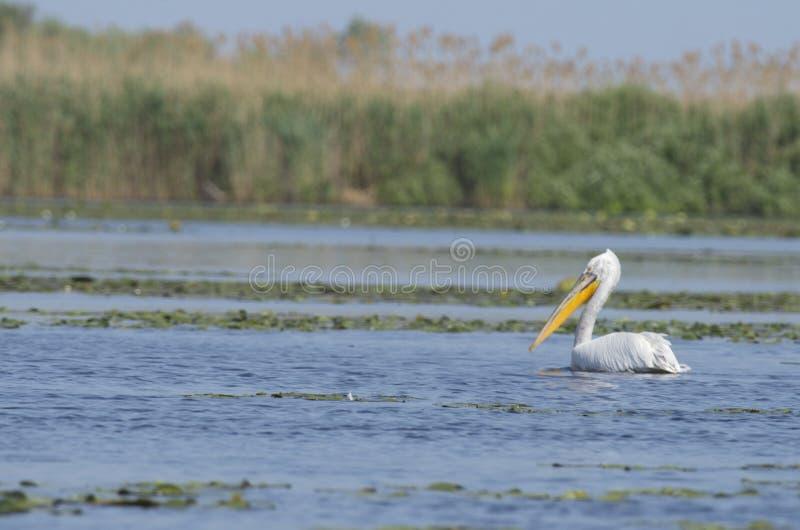Dalmatyński pelikana pelecanus crispus zdjęcia stock