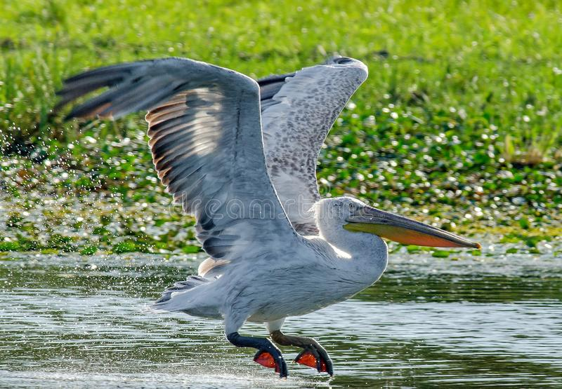 Dalmatyński pelikana pelecanus crispus fotografia royalty free