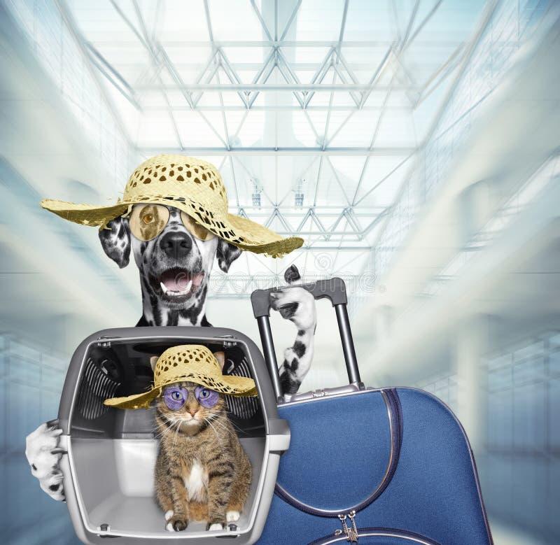 Dalmaty?ski pies i kot czekanie przy lotniskiem z b??kitn? walizk? fotografia royalty free
