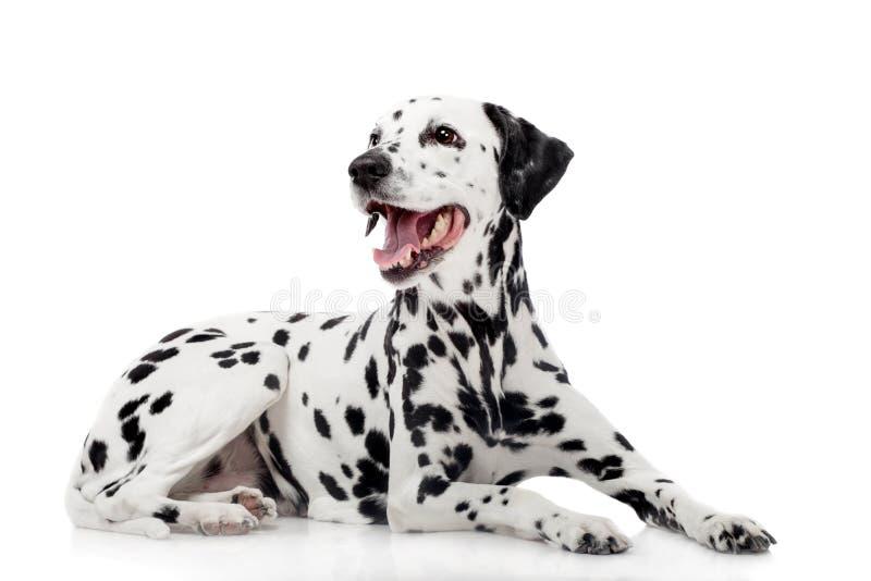 Dalmatyński pies, odosobniony na bielu fotografia stock