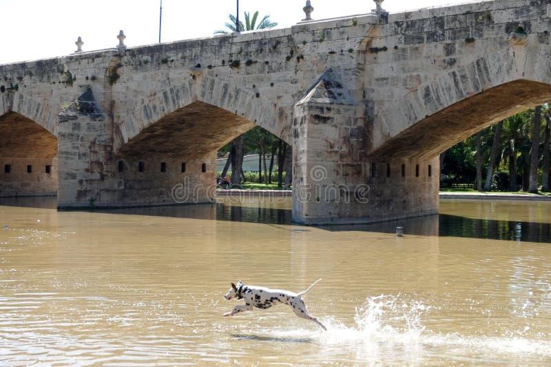 Dalmatyński pies przy Puente Del Real mostem w Turia parku w Walencja, Hiszpania zdjęcie royalty free