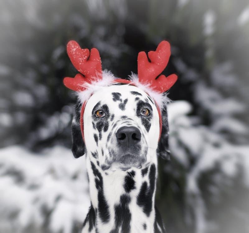 Dalmatyński pies w boże narodzenia kostiumowi w lesie obrazy stock
