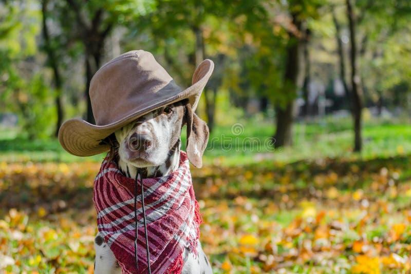 Dalmatyński pies w brąz szkockiej kracie przeciw backgr i kowbojskim kapeluszu fotografia stock