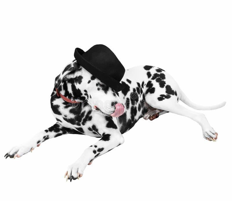 Dalmatyński pies w czarnego kapeluszu lying on the beach zdjęcia royalty free