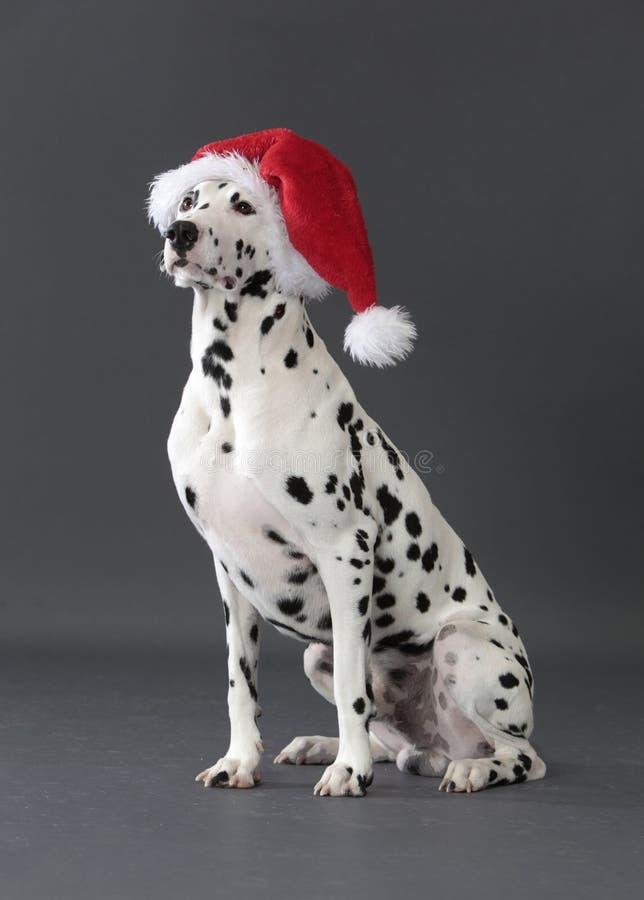 Dalmatyński pies w studiu z bożymi narodzeniami kapeluszowymi obraz stock