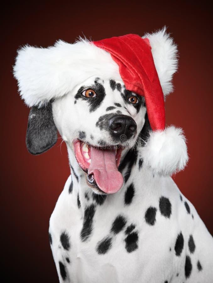 Dalmaty?ski portret w Santa kapeluszu na czerwonym tle zdjęcia stock