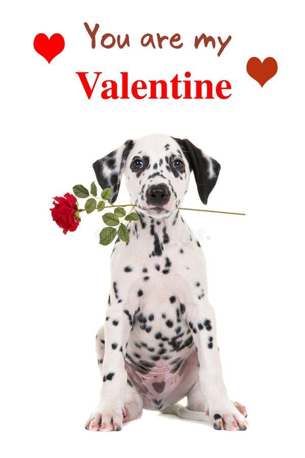 Dalmatyński szczeniak z czerwieni różą i Wy jesteśmy mój walentynki tekstem obrazy royalty free
