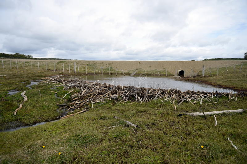 The dam , erected by beavers branches of the bushes , in the treeless part of Tierra del Fuego . TIERRA DEL FUEGO, CHILE - NOVEMBER 14,2014: The dam , erected stock photo