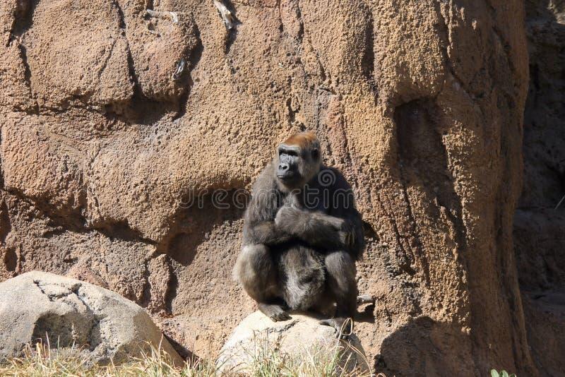 Dam Gorilla arkivfoto