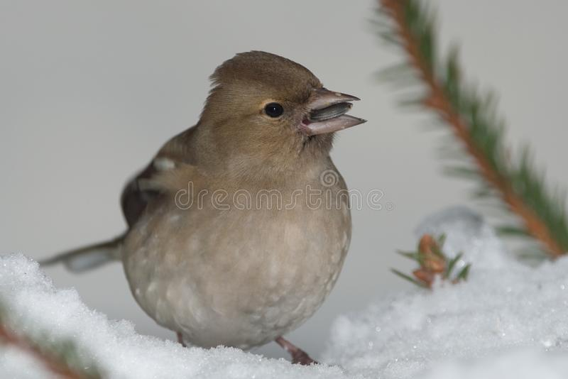 Dam of green-finch royalty free stock photo