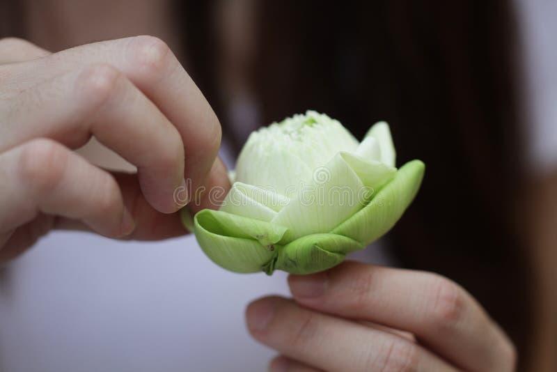 Dam` s räcker det hopfällbara härliga gröna organiska bladet för Lotus ` s, anvisning för blommavikning, meditation arkivfoto