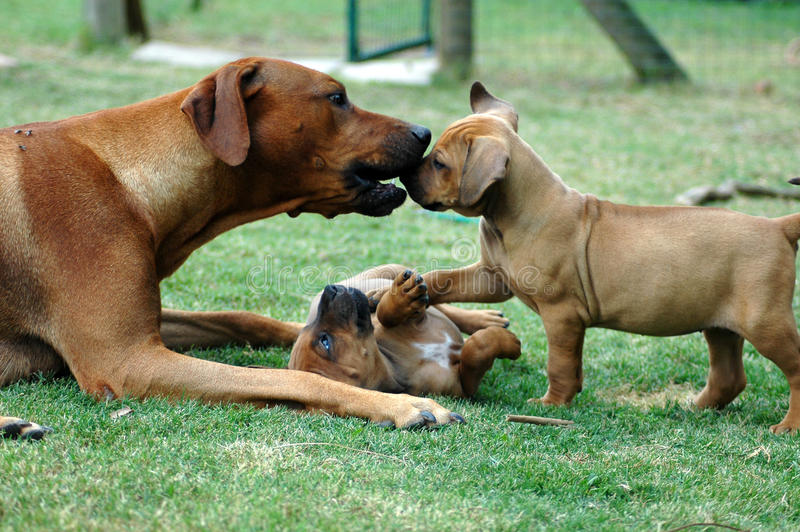 Dam teaching her puppies. A thoroughbred Rhodesian Ridgeback hound female teaching her puppies correct social dog behavior