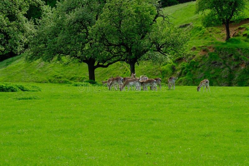Dama Dama auf der üppigen grünen Weide stockbilder