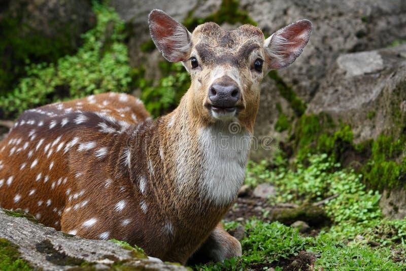 Dama Dama Deer Stock Images