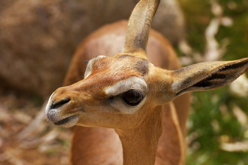 Dama del bebé o Gazelle joven de Mhorr fotos de archivo libres de regalías