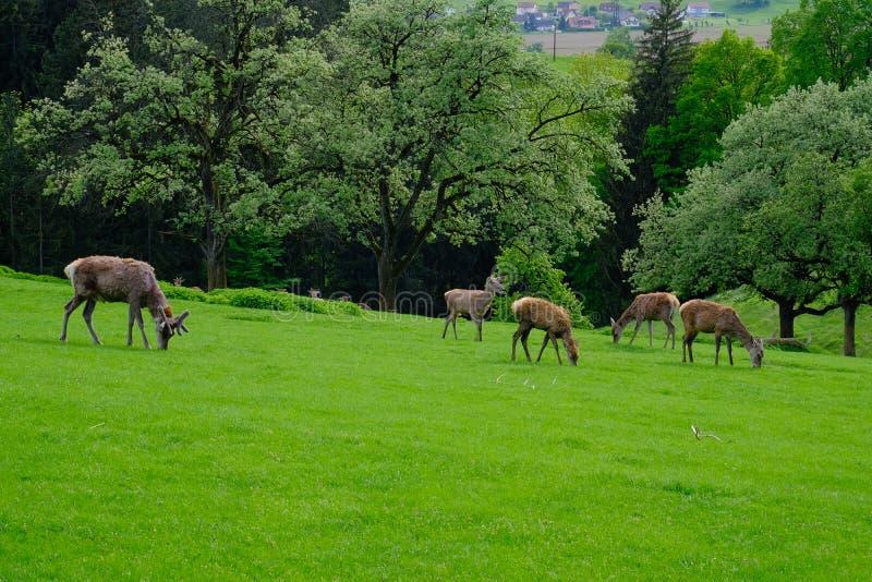 Dama do Dama no pasto verde luxúria fotografia de stock royalty free