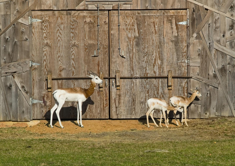 Download Dama gazelle stock photo. Image of young, species, horns - 12596468