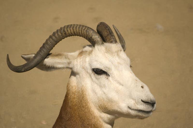 Dama-Gazelle stockfotos