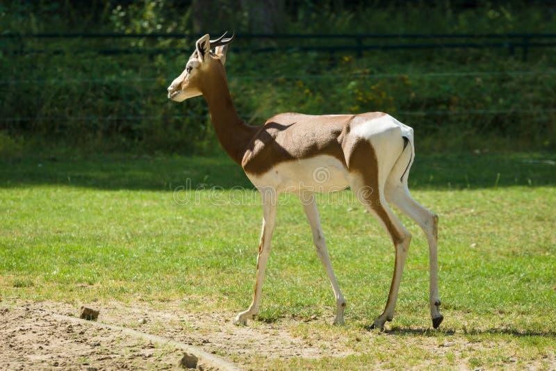 Dama gazelle στοκ φωτογραφίες