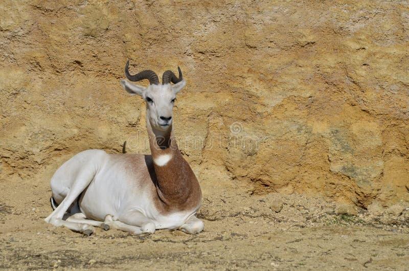 Dama gazelle lying on ground stock photos