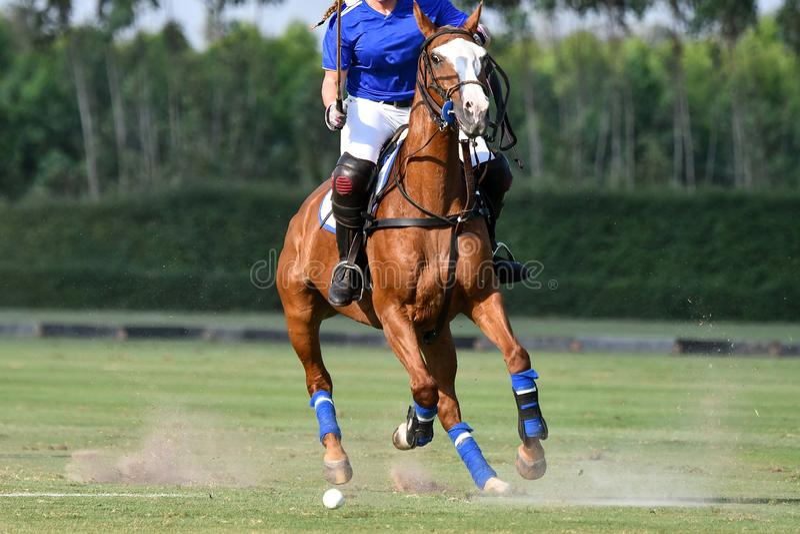 Dama polo koński gracz używa dobniaka uderza piłkę obrazy royalty free
