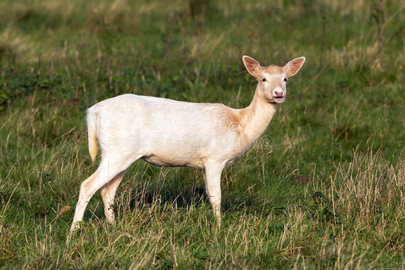Dama van Pale Phase Fallow Deer Doe - Dama-, Warwickshire, Engeland stock foto
