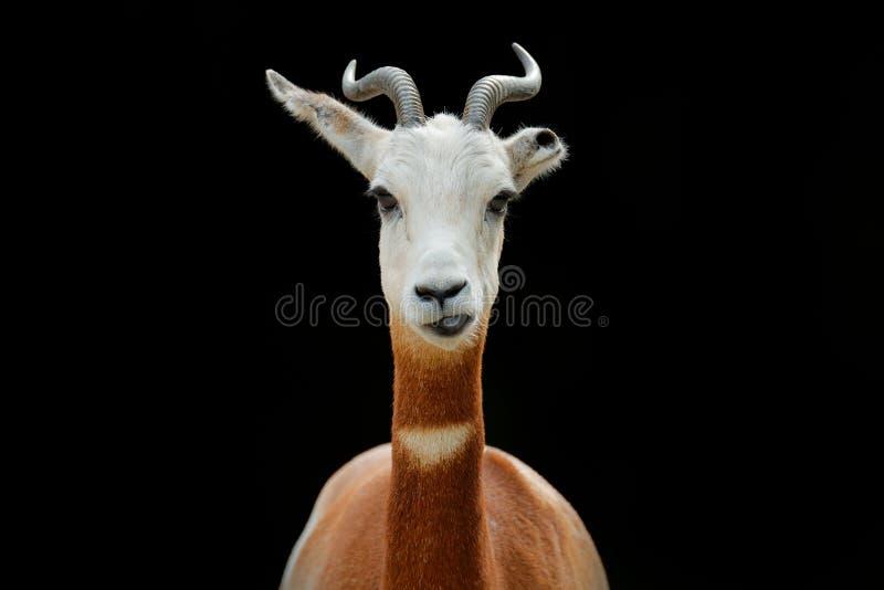 Damagazelle, addragazelle, of mhorr gazelle, Nanger-dama, detailportret met hoorn Dier van Afrika Close-upportret van FA royalty-vrije stock afbeelding
