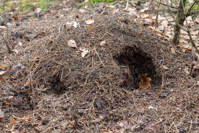 A damaged anthill by a wild boar in the forest. Abandoned place stock photos