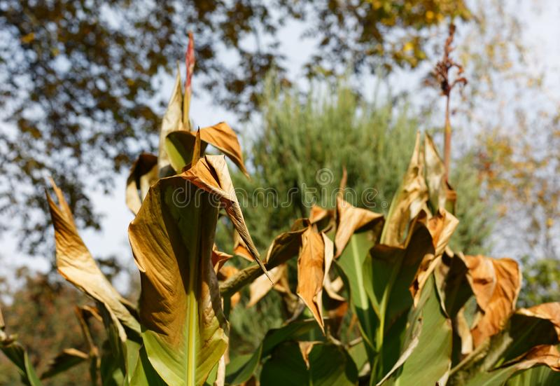 Damaged canna lily plant leaves by early frost foliage stock images