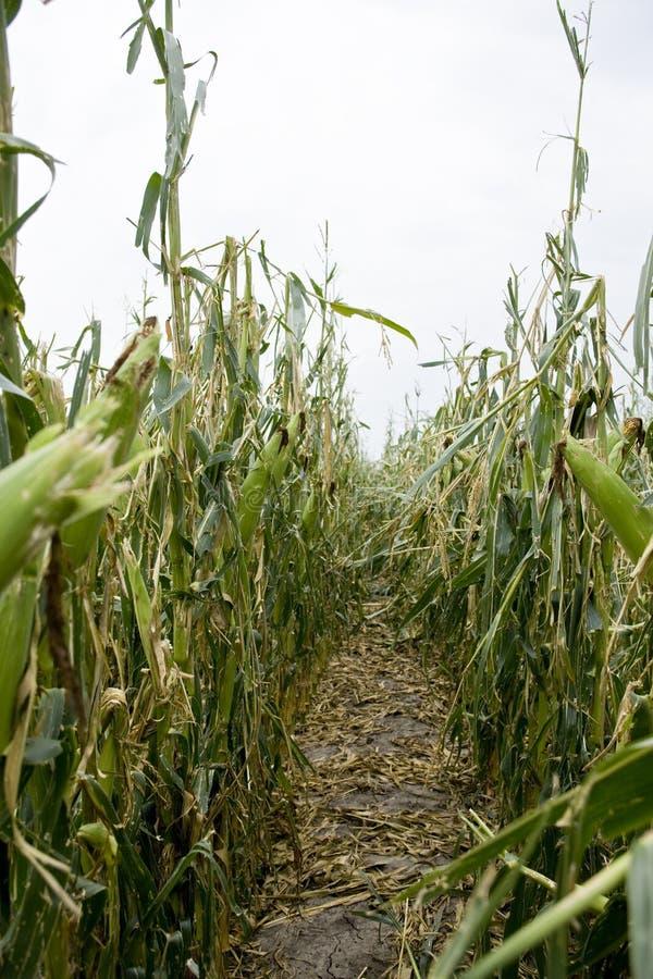 Damaged Corn Field stock image