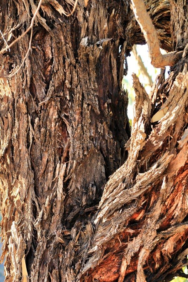 Damaged and diseased bark of eucalyptus tree texture in the mountain. Damaged and diseased bark of eucalyptus tree texture in the mountain stock photography