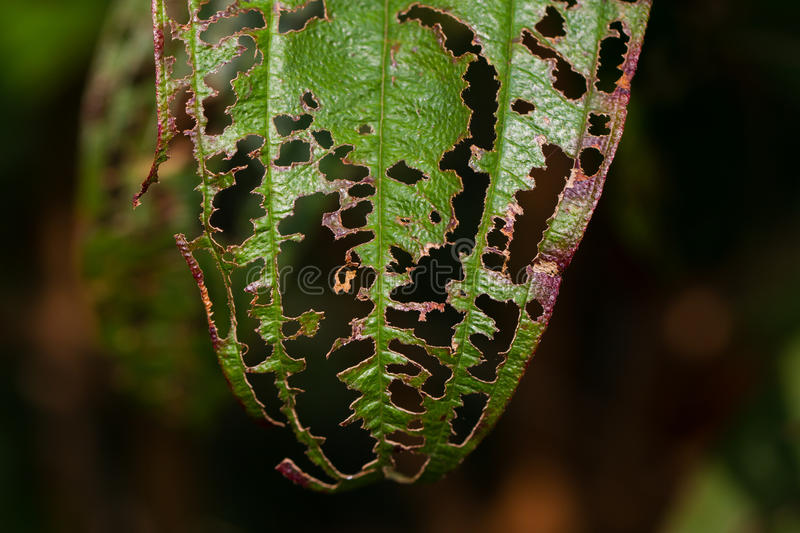 Damaged Leaf with holes royalty free stock photos