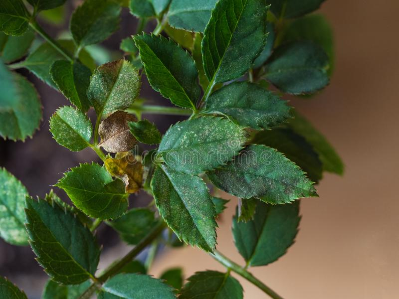 Damaged leaves by spider mite. Plant disease. Damaged leaves by spider mite. Plant disease stock photography